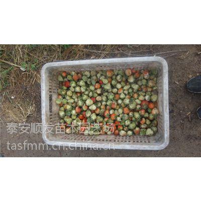 青岛章姬草莓苗生产基地,章姬草莓苗批发价格出书