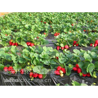 山东全明星草莓苗价格