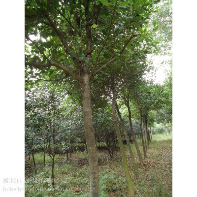 12公分全冠大叶女贞苗圃有售,货源充足,树形好看,价格便宜