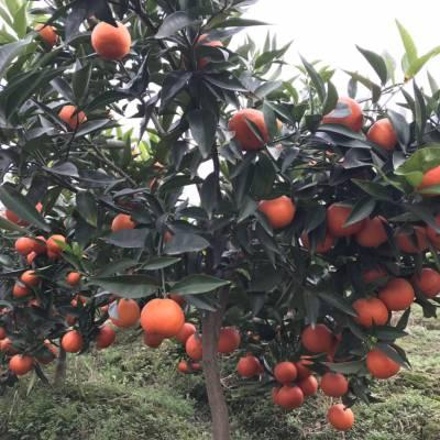 柑橘种植产业品种选择世纪红品质***稳定售价糖度高