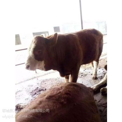 日照肉牛养殖、万隆牧业(图)、肉牛养殖前景