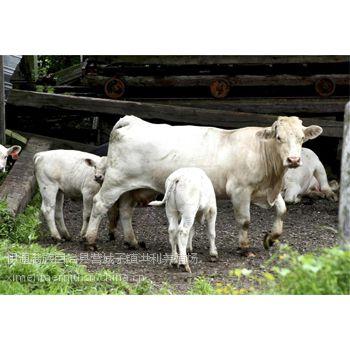 2016年夏洛莱牛多少钱一头 东北哪里有卖夏洛莱牛的 哪里的夏洛莱牛价格便宜