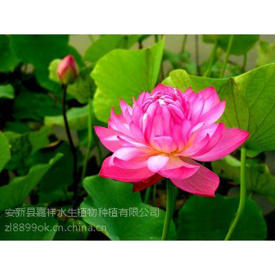 水生花卉荷花苗、荷花种植、荷花种苗、各种水生植物