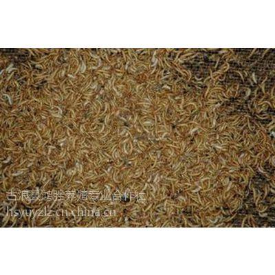 供西宁黄粉虫幼虫和青海黄粉虫养殖公司