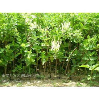 山东泰安金银花绿化苗种植基地