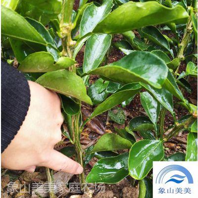 柑橘苗木晴姬,小果型早熟杂柑,柑桔新品种,宜设施栽培