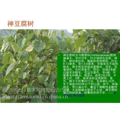 供应豆腐树苗、食用豆腐树叶、斑鸠树苗