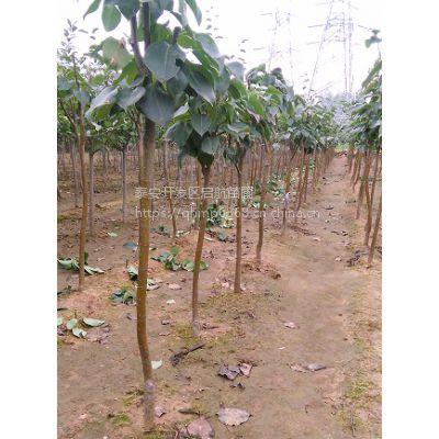 玉露香梨树苗,1公分玉露梨苗价格,新品种梨树