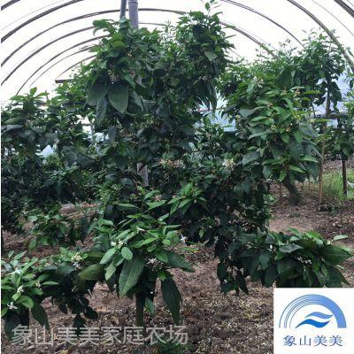 柑桔树苗象山爱媛38号,橘橙杂柑, 果实光滑,果皮橙红色