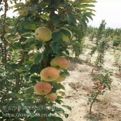 红富士苹果苗育苗