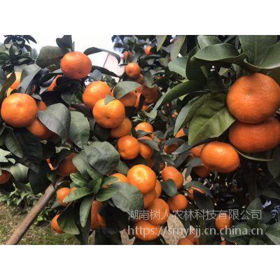 柑橘种植产业品种选择金秋砂糖桔品质***稳定售价糖度高