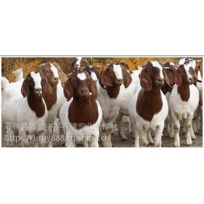供应山东波尔山羊种羊价格,波尔山羊养殖场