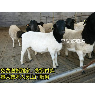 纯种黑头杜泊羊种羊价格 纯种杜泊羊羔羊养殖前景 杜泊羊养殖场