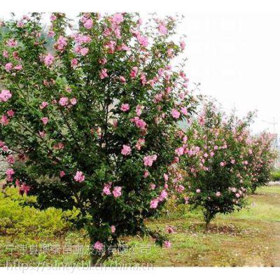 双瓣红花木槿,独杆花灌木,适应全国各地栽培,对环境的适应性强。