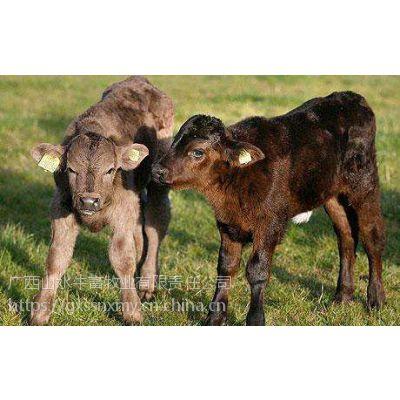 山水牛公司出售高端品种安格斯西门塔尔牛犊销售