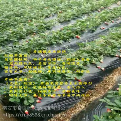 法兰地草莓苗假植