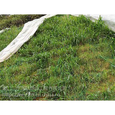 昆明市寻甸县边坡种植狗牙草黑麦草种籽混播