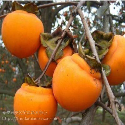 柿子树苗 柿子苗繁育基地 柿子苗品种