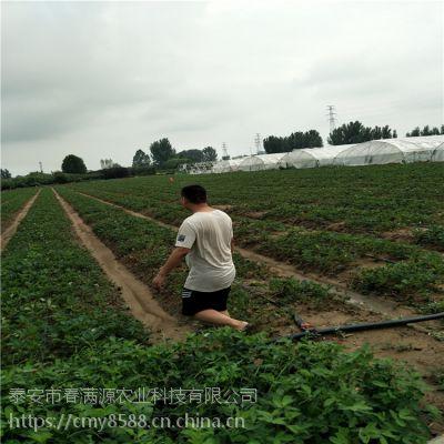 法兰地草莓苗要求