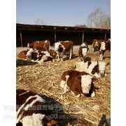 东北养牛基地东北养牛场东北养牛行情东北养牛品种东北养牛中心