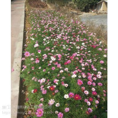 四川三水园林供应成都青羊区边坡固土花种波斯菊花籽的播种方法