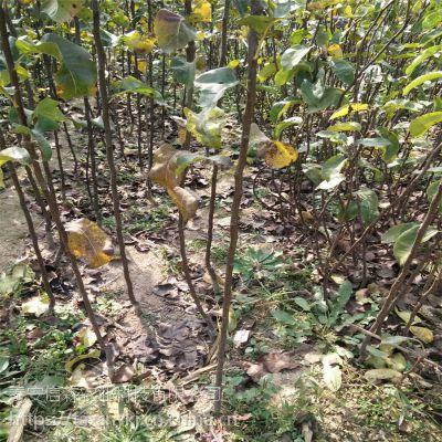 信森农业科技免费推广梨树苗种植技术 秋月梨树苗高产方法