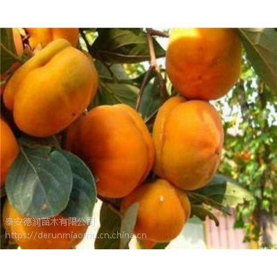 富有甜柿子苗价格 3公分富有甜柿子树介绍