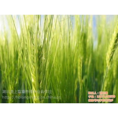 随州小麦,垄上畜禽(图),小麦草