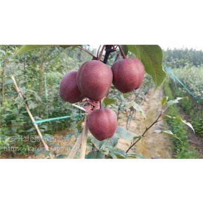 红茄梨苗2018年多少钱一颗 红茄梨苗成苗批发价格