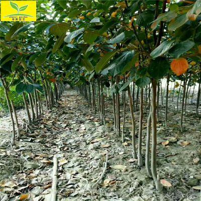 山东 1公分柿子苗 规格齐全 土球直径20公分 日本甜柿 磨盘柿子苗