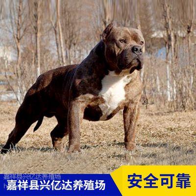 嘉祥县兴亿达小型比特犬幼犬养殖场报价