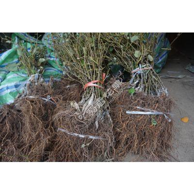 嘉兴猕猴桃苗制造商 优质猕猴桃苗现货供应