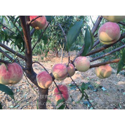 金秋红蜜桃树苗批发 金秋红蜜桃树苗成熟时间