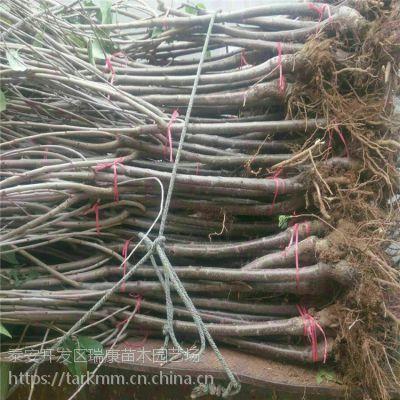 泰安瑞康苗木供应山东嫁接樱桃苗品种 美早樱桃苗亩栽多少棵