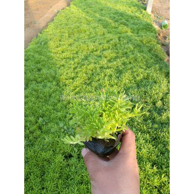 耐寒佛甲草种植批发基地