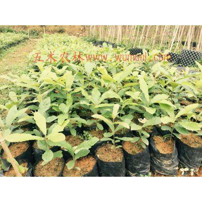 供应优质珍贵乡土树种麻栎容器苗