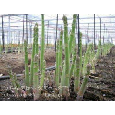 美国改良王子-高产芦笋种子