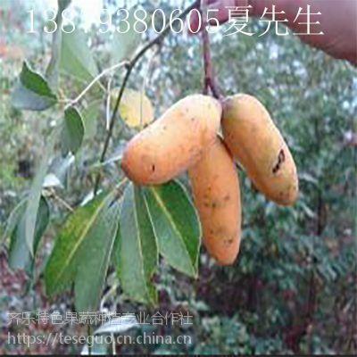 致富特色水果种植黄金蕉(九月黄)
