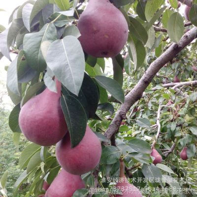 果树苗木 嫁接意大利黑梨树苗当年结果 南北方种植黑梨苗国外引进