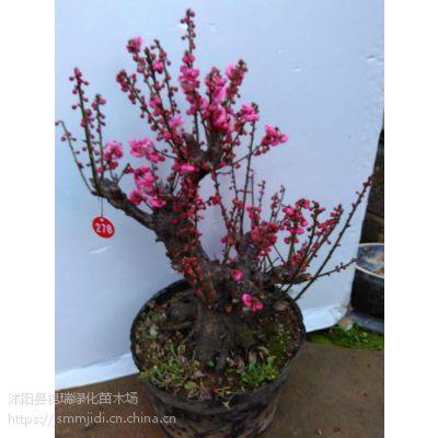 出售高中档红梅盆景 红梅树桩 梅花盆景