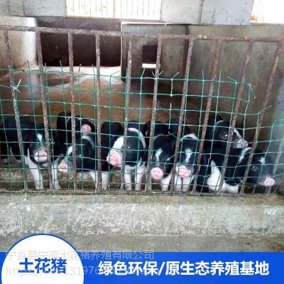 流沙河宁乡土花猪野生猪肉土花猪宝宝猪肉做法大全厂家销售