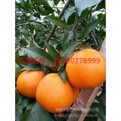 湖南常德大雅一号基地供应12月份完全成熟世纪红柑桔苗30-80cm高