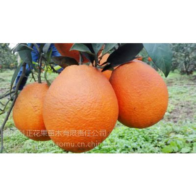 青秋脐橙 柑橘 柑桔