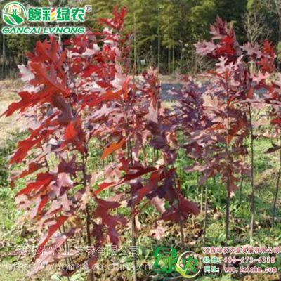 江西沼生栎 柳栎 北美红栎 北方红橡树 家具制作材料 2018年沼生栎新报价