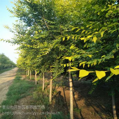 8公分中华金叶榆,绿化园林植物 金叶榆价格