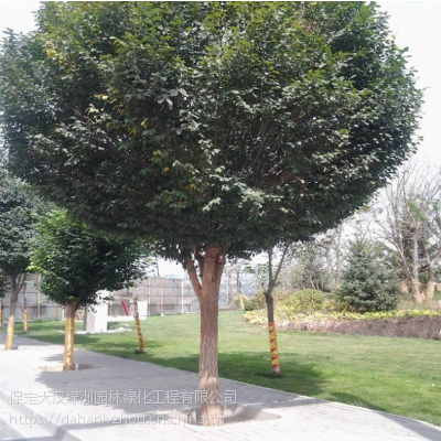 保定大汉绿洲供应7公分圆冠榆 量大从优易成活