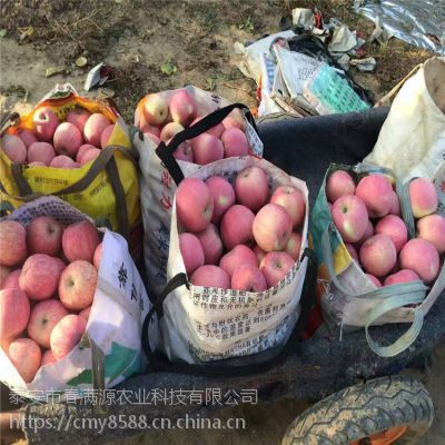 红富士苹果苗丰产
