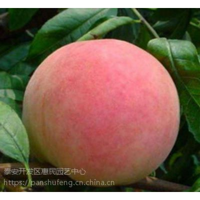 泰安优质桃树苗-黄金蜜5号