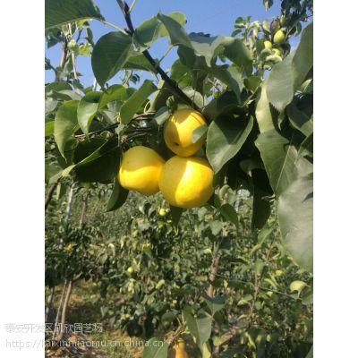 蜜露梨苗多少钱一棵 蜜露梨苗种植方法