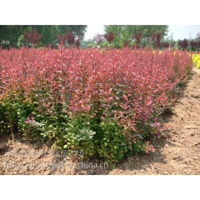 当今紫叶小檗主产地在江苏沭阳 这里紫叶小檗价格确实便宜